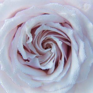 Simplicité Boutique Rose Body Lotion
